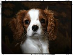 Arthur (Doris Burfind) Tags: dog puppy cavalierkingcharlesspaniel