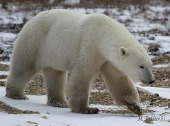 Polar-Bear-Trip-0025 (Mike Taddeo) Tags: bear winter cold ice mike canon bay o manitoba e u churchill hudson polar