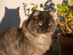 Hairy (bertrandwaridel) Tags: november autumn shadow hairy plant wall cat switzerland suisse vaud 2014 echallens longhairedcat