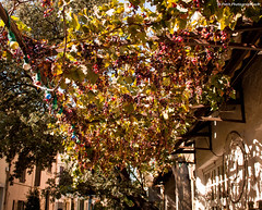 Vines (Mickael PETIT) Tags: red wild green nature canon rouge vines vert mickael vignes raisin plantes petit 500d
