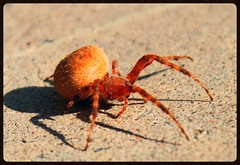Big Butt Spider (See El Photo) Tags: california ca light shadow red wild 15fav favorite hairy orange color colour ass nature beautiful cali digital canon bug hair insect walking outside outdoors eos rebel spider big pain hurt scary eyes colorful day colore legs pavement fat arachnid sting tail butt large 8 sunny ground bugs creepy ugh 100views yuck bite daytime alive fav behind spines buggy crawl eight arachnophobia couleur striped creep webs eightlegs ick creeps venom crawler faved webcrawler thiscouldhurt t1i chrislaskaris