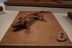 "Seymouria amphibian fossil • <a style=""font-size:0.8em;"" href=""http://www.flickr.com/photos/34843984@N07/15537357181/"" target=""_blank"">View on Flickr</a>"