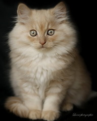 chat (laurephotographe) Tags: white animal animals cat persian kitten cream british blanc chaton persan crme