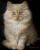 chat (laurephotographe) Tags: white animal animals cat persian kitten cream british blanc chaton persan créme