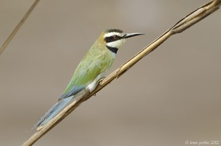 White-throated Bee-eater, Guêpier a gorge blanche (Merops albicollis) - Sô-Ava, BENIN - 2012-01-22