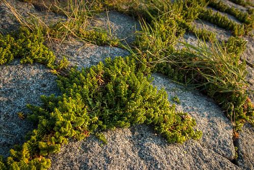 Sea Sandwort; Salzmiere (3:2)