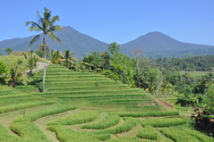 Jatiluwih Rice Terraces (Jason's Travel Photography) Tags: bali green indonesia rice terrace
