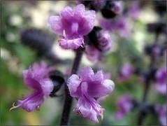 (Tlgyesi Kata) Tags: autumn blossom botanicalgarden purpleflower vcrtt botanikuskert vcrttibotanikuskert withcanonpowershota620 nemzetibotanikuskert