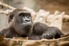 2014-09-22-13h08m37.BL7R9672 (A.J. Haverkamp) Tags: germany zoo gorilla shira frankfurt dierentuin westelijkelaaglandgorilla canonef70200mmf28lisusmlens pobstuttgartgermany httpwwwzoofrankfurtde dob28082004