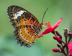 Lacewing Butterfly nectaring on Peregrina Flower, Wings of the Tropics, Fairchild Tropical Botanic Garden. (pedro lastra) Tags: test macro nikon shots review sample d750