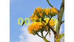 Flickr_003179 (lima_ho_htc) Tags: hummingbird antigua aloevera thegalaxy mygearandme dblringexcellence tplringexcellence eltringexcellence franbanks rememberthatmomentlevel1