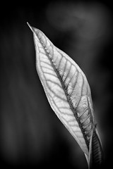 leaf in black and white (loobyloo55) Tags: blackandwhite macro leaf australia frangipani