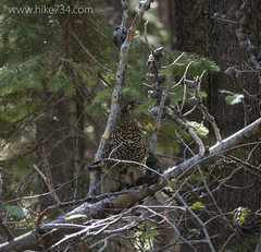 "Spruce Grouse • <a style=""font-size:0.8em;"" href=""http://www.flickr.com/photos/63501323@N07/15618073002/"" target=""_blank"">View on Flickr</a>"