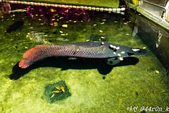 Gigantic Arapaima (44ron_K) Tags: ocean fish water beautiful coral swimming swim aquarium fishtank tropical reef fishporn watertank saltwater tropicalfish freshwater reeftank aquaria arapaima instafish