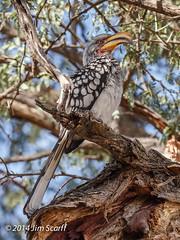 Southern Yellow-billed Hornbill (Jim Scarff) Tags: botswana moremigamereserve southernyellowbilledhornbill tockusleucomelas hornbills africanbirds bucerotidae