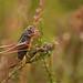Kurzflügelige Beißschrecke (Metrioptera brachyptera), Quellgebiet der Emmels bei Medell, Ostbelgien