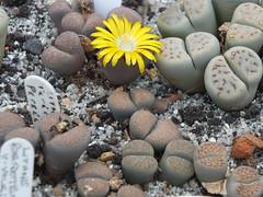 DSCF0394 (BobTravels) Tags: plant stone bob lithops lithop messem bobwitney