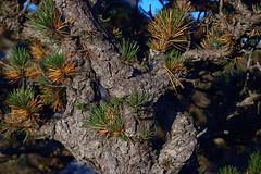 Pygmy Pitch Pine on Hawksbill Mountain 2014-1017-220 (LostPineJim) Tags: northcarolina linvillegorge pitchpine pinusrigida burkecounty hawksbillmountain