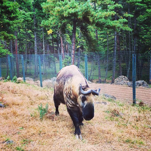 This is a Takin, the national animal of Bhutan. Mythology has it that a Devine Madman ate an entire goat and cow, and put the head of the goat and the bones of the cow together. The strange beast then came alive.  #bhutan #thimphu #wanderlust #travel