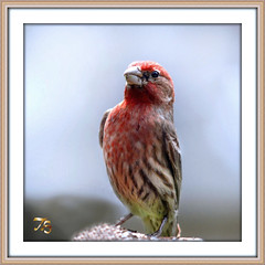 Male House Finch (Vidterry) Tags: finch housefinch iso1250 malehousefinch ev23 nikond7000 tamron200500mm400mm 13200thf6