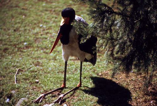 "002 Sattelstorch (Walsrode 1982) • <a style=""font-size:0.8em;"" href=""http://www.flickr.com/photos/69570948@N04/15729806565/"" target=""_blank"">View on Flickr</a>"