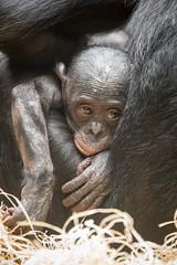 2014-09-22-12h26m05.BL7R9653 (A.J. Haverkamp) Tags: germany zoo frankfurt bonobo dierentuin canonef70200mmf28lisusmlens pobfrankfurtgermany httpwwwzoofrankfurtde tikala dob20042013