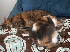 P4157704 (Raccoon Photo) Tags: pet cats pets cute love animal animals cat fur paw furry feline kittens pixie domestic kitties paws companions love animals eyes cat pixie kamalani domestic ball cat cats fur adorable stardust adopted