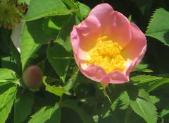 IMG_6388 (hemingwayfoto) Tags: rose flora pflanze gelb wildrose blume blte strauch busch botanik zart blhen rosacanina heckenrose einheimisch bltenstempel rosengewchs