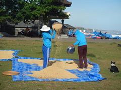 Sparer le bon grain... (GeckoZen) Tags: bali indonesia riz pady seseh