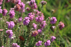 Cross-leaved Heath (raggi di sole) Tags: pink flowers england heather heath wildflower chobhamcommon ericatetralix crossleavedheath