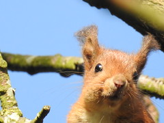 LOVE AT FIRST SIGHT (Poppy ♥ Cocqué ♫) Tags: animal squirrel red sunlight redsquirrel forest wood tree sky cute adorable sweet comical funny amusing endearing loveatfirstsight soundtrack poem poetry prose ap poppy poppycocqué tufty tuftythesquirrel ralphwaldoemerson quote quotation patience virtue island mersea merseaisland todaywhatabeautifulday stanleycowell wild wildlife sciurus sooc straightoutofcamera p☆ppyc☆cqué