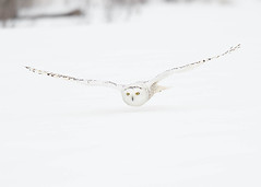 Harfang des neiges Bubo scandiacus - Snowy Owl (Anthony Fontaine photographe animalier) Tags: