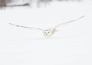 Harfang des neiges Bubo scandiacus - Snowy Owl
