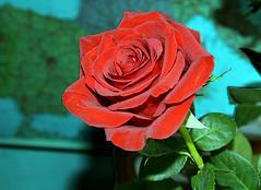 Rose (Caulker) Tags: rose 19032017