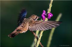'amazing adventure' (d-lilly) Tags: hummingbirds lifer fb costarica costarica2016 brownvioletearhummingbird naturestapestryphotoadventuretours lifer2016