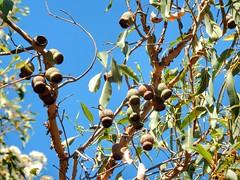 Gumtree (sander_sloots) Tags: gumtree kings park pods peulen perth gomboom eucalyptus tree