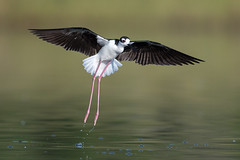 Black-Necked Stilt (PeterBrannon) Tags: bird blackneckedstilt florida himantopusmexicanus longlegs marsh nature wadingbird wildlife morning sunrise