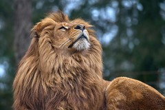 up (rondoudou87) Tags: lion pentax k1 parc zoo reynou nature natur wildlife wild smcpda300mmf40edifsdm