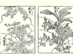 Clematis, fleabane, Japanese banana and squirrel's foot fern (Japanese Flower and Bird Art) Tags: flower clematis patens ranunculaceae fleabane erigeron thunbergii asteraceae banana musa basjoo musaceae squirrel's foot fern davallia mariesii davalliaceae katsumasa yoshimura kano woodblock picture book japan japanese art readercollection