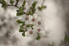 April (oskaybatur) Tags: april spring closeup dof bokeh flower 2017 oskaybatur pentaxk10d ilkbahar nisan balkaya türkiye turkey turkei nature pentaxart justpentax smcpentaxdal55300mmf458ed pentax white bahardalı springtime