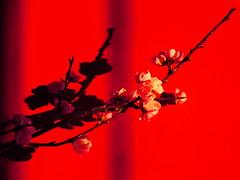 (Highburnate) Tags: cherry blossom red wall light summer morning spring bloom flowers twig botanical botany nathalie weiswasser highburnate canadian lumix gx8 dmc mirrorless panasonic orange bright contrast shadow