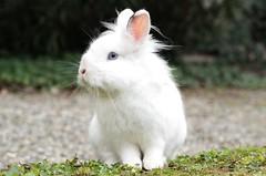 coniglio col ciuffo al vento (Flavio Calcagnini) Tags: coniglio bianco bianconiglio piacenza rabbit orecchie musino pelosetto ciuffo al vento portrait ritratto flavio calcagnini