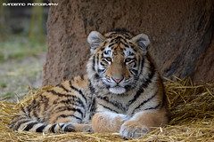 Siberian tiger cub - Zoo Duisburg (Mandenno photography) Tags: dierenpark dierentuin dieren aa animal duitsland germany tiger tijger tigers tijgers the siberian duisburg zooduisburg ngc