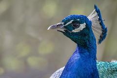 Peafowl  -  Pfau (CJH Natural Photography) Tags: peafowl pfau peacock portrait bokeh blue green show