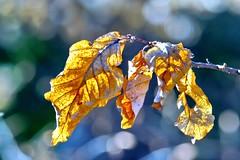 Feuillage de fin d'hiver (LT.:.) Tags: feuille feuillage jaune hiver bokeh hdr