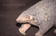 ZOO0113 (Akira Uchiyama) Tags: 動物たちのいろいろ 耳 耳センザンコウ
