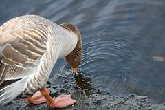 263 (AO'Brien) Tags: arklow wicklow autumn birds