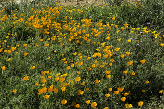 A patch of Wild California Poppies