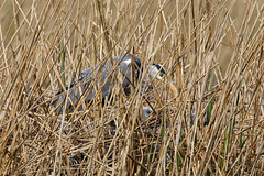 Grey heron nest with chick (Steve Balcombe) Tags: bird grey heron ardea cinerea nest chick reeds reedbed phragmites rspb hamwall avalonmarshes somerset levels uk