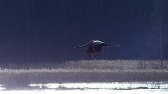 Grus grus, common crane (Lenholmen, Parainen, 20170415) (RainoL) Tags: 2017 201704 april bird birds commoncrane crane eurasiancrane fin finland fz200 geo:lat=6024150463 geo:lon=2220742463 geotagged gruidae grusgrus kurki lenholma lenholmen mattholmsfladan parainen pargas spring varsinaissuomi